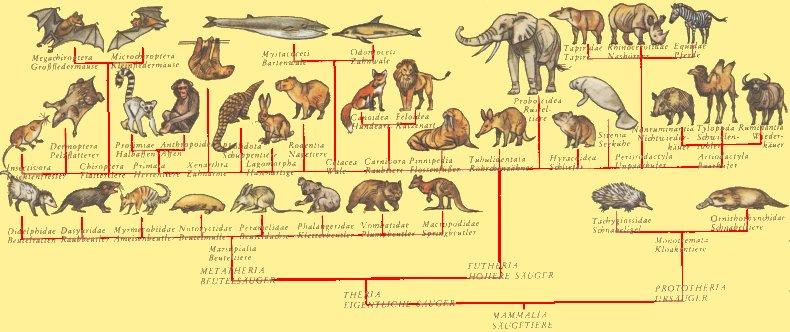 Stammbaum der säugetiere